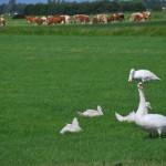 Aves y ganado